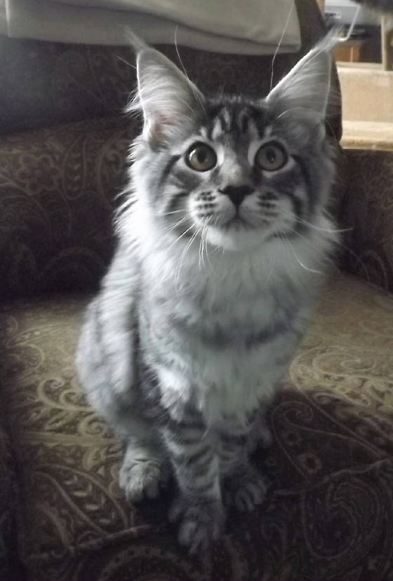 mainecoon breeders in sc, maine coon kittens sc