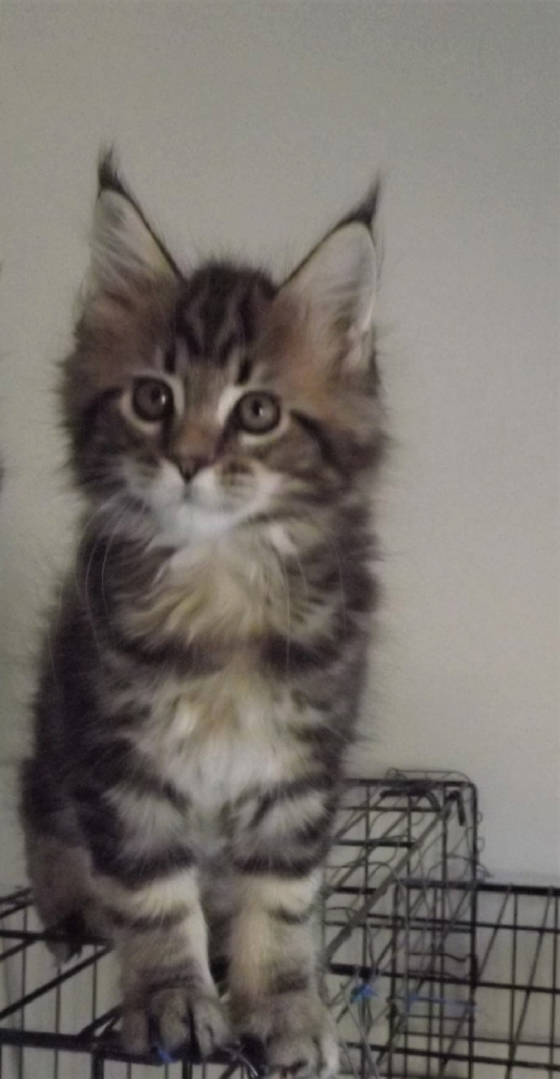maine coon kittens, maine coon breeders, SC, adopt