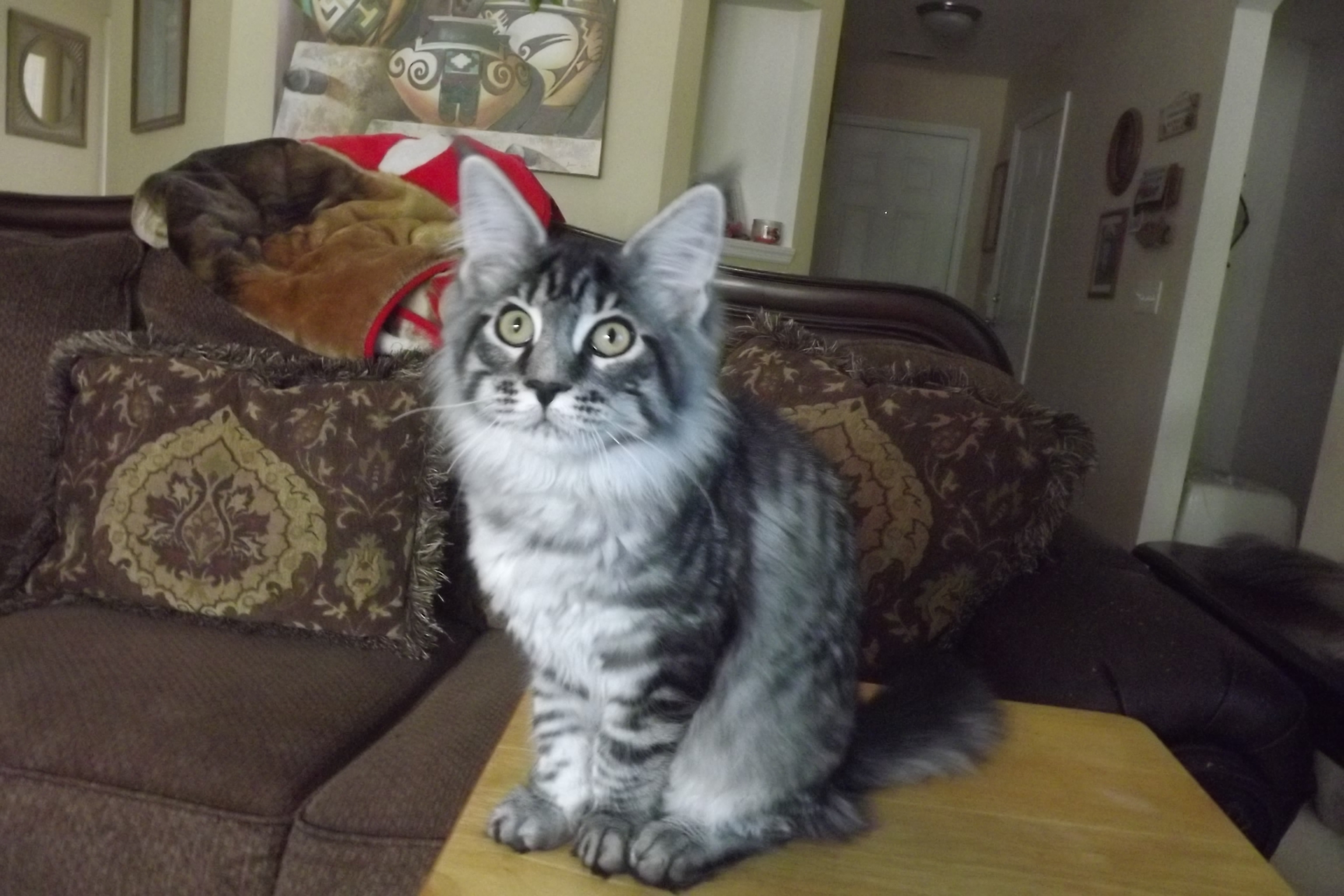 mainecoon kittens in SC, mainecoons, breeder in SC