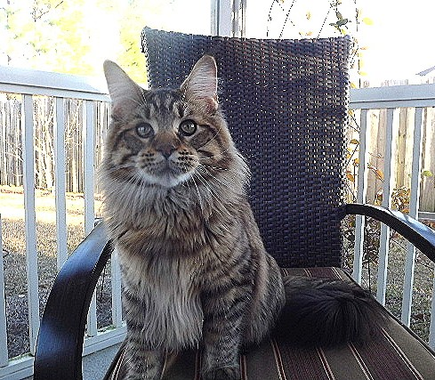 maine coon kittens, breeders in sc, kitten adoptio