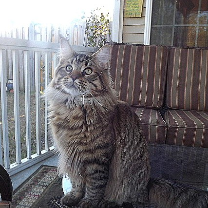 maine coon kittens in SC, breeders in SC, adoption