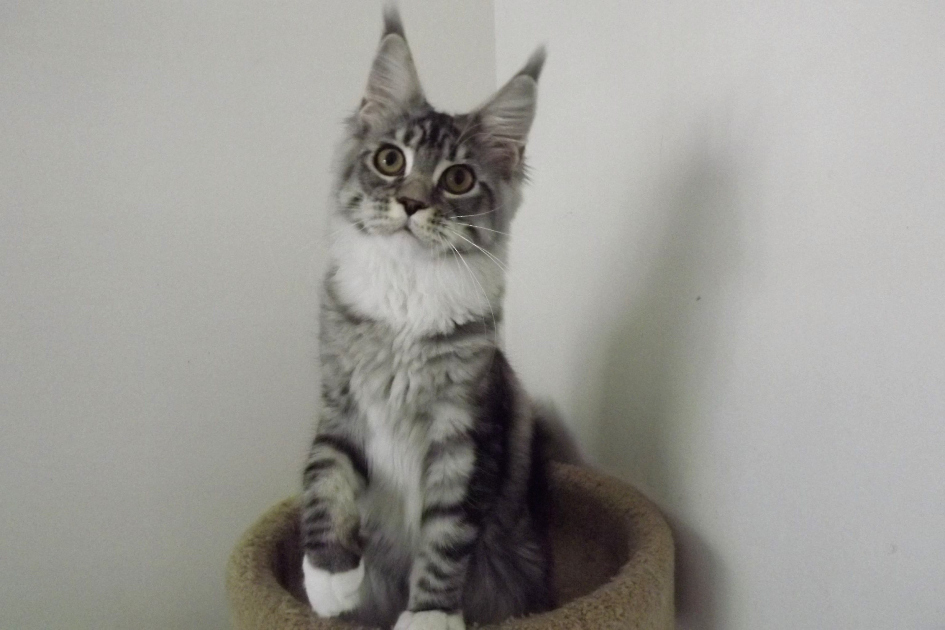 maine coon breeders, SC, maine coons kittens, adop