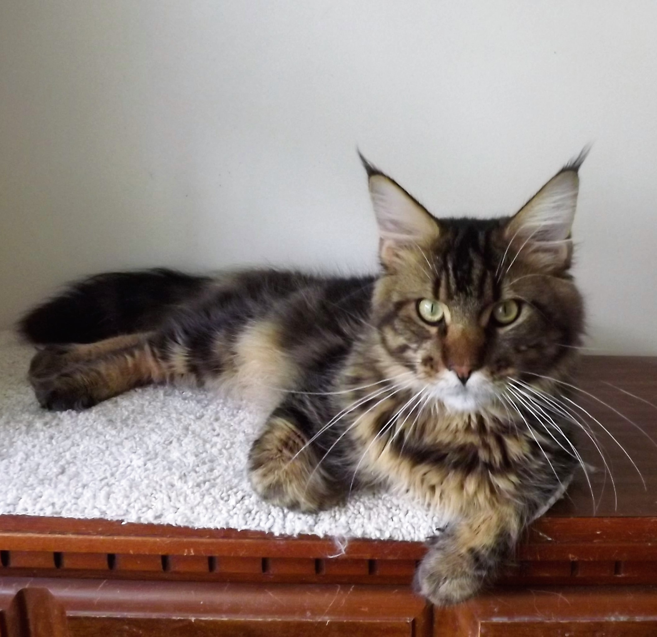 mainecoon kittens, breeders, kittens in SC, adopt