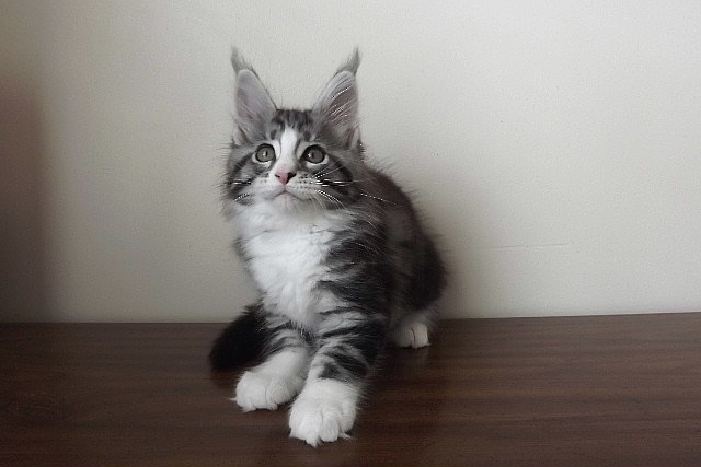 maine coons, kittens, breeders in SC, adoptions